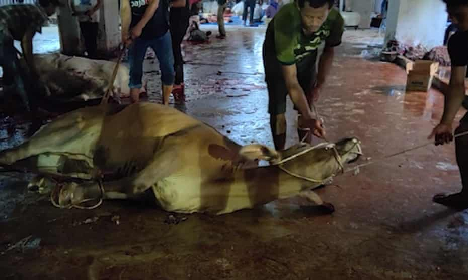 A still from live export footage of cattle slaughtered in Indonesia