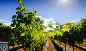Vines in Marlbourgh, New Zealand, one of the areas affected by November's 7.8 magnitude earthquake.