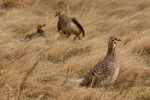 A sharp-tailed grouse female walks by as two males dance in background during mating season at Upper Souris National Wildlife Refugee near Minot, North Dakota, USA