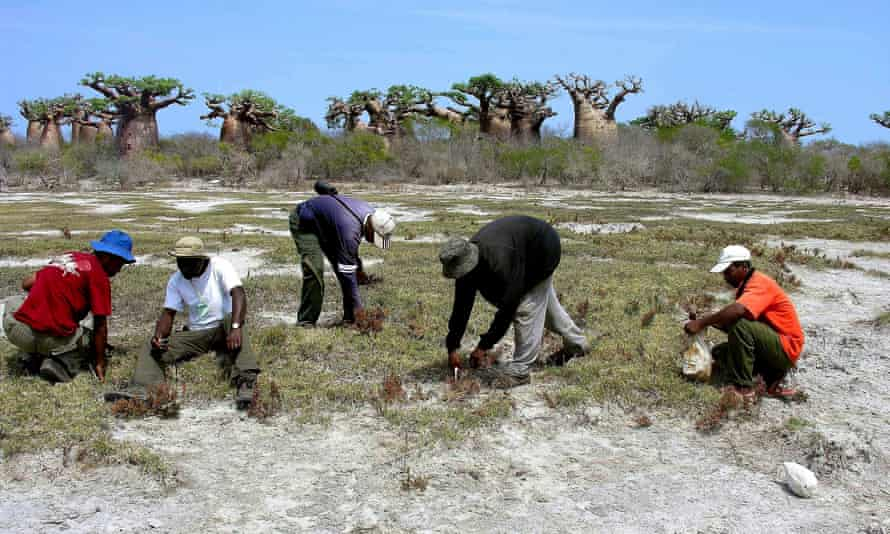 Madagascans collecting seeds