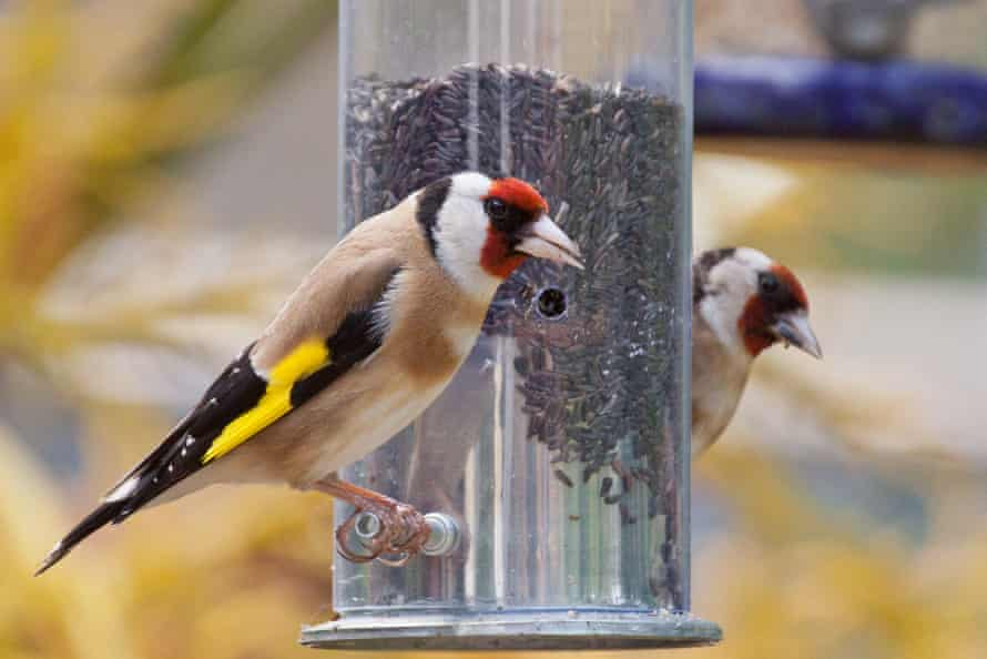 Goldfinches at a bird feeder full of niger seeds