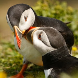 Fratercula artica, their scientific name, means 'little brother', referring to the black and white plumage, thought to resemble monastic robes