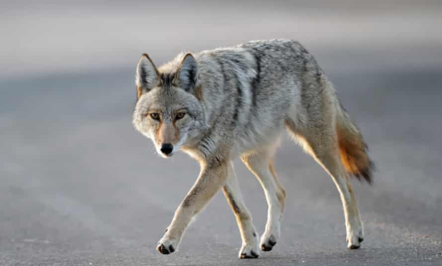 The USDA's Wildlife Services division has come under fire for killing off coyotes and other predators using methods that have been deemed damaging to other wildlife.