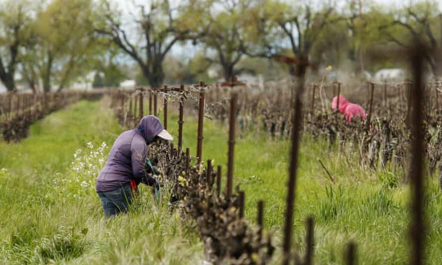 Farmworkers at the Heringer Estates Family Vineyards and Winery in Clarksburg, California.