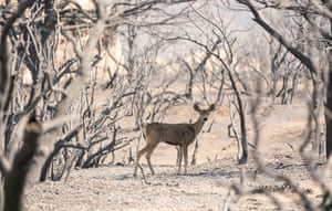 A deer searches for food in an area devastated by wildfiew. According to the US Forest Service, the Bobcat fire has burnt more than 99,000 acres of land
