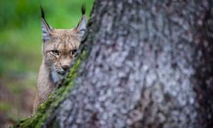 An Eurasian lynx in Hundshaupten, southern Germany.
