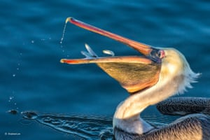 Jump! Quickly! Three small smelts are scooped up in the humongous bill of a pelican on a morning dive for breakfast, one managed to escape