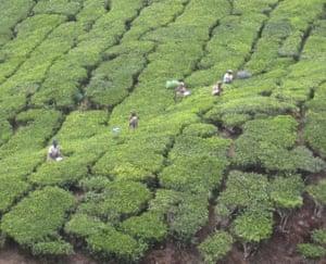 Tea pickers, Kerala