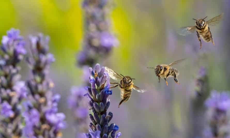 A European honeybee, Apis mellifera, feeding on garden lavender