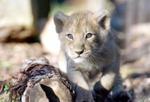 Chessington, England: An endangered female Asiatic lion cub