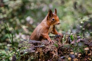 A red squirrel sitting on a tree trunk covered with autumn mushrooms in Hinterzarten, Germany.