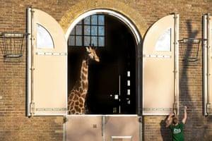 Keeper Gareth Chamberlain with a giraffe