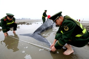 Chinese paramilitary policemen measure a stranded humpback whale on a beach in Qidong, Jiangsu province