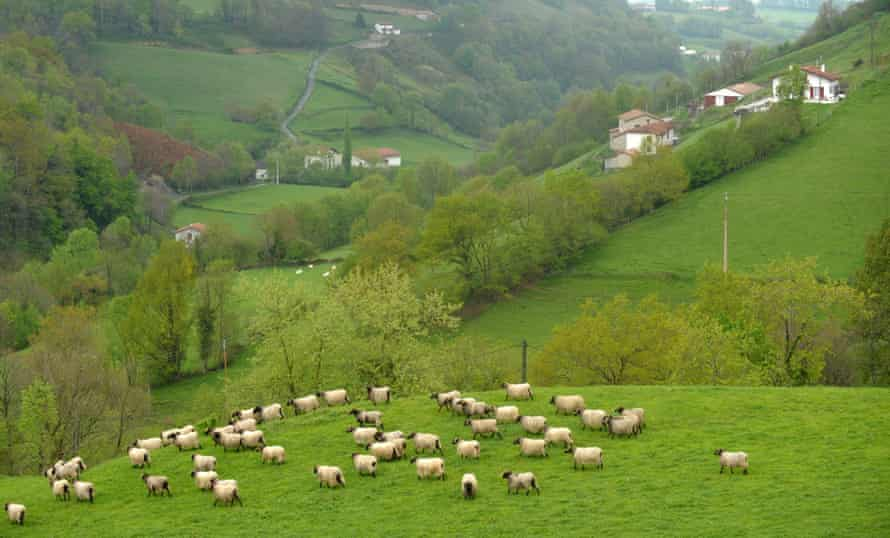 Sheep graze on a steep moutain meadow in Anhaux, south-western France.