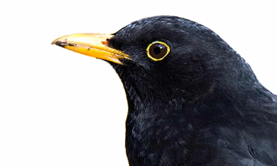 'From hills/to home/and back' … a blackbird