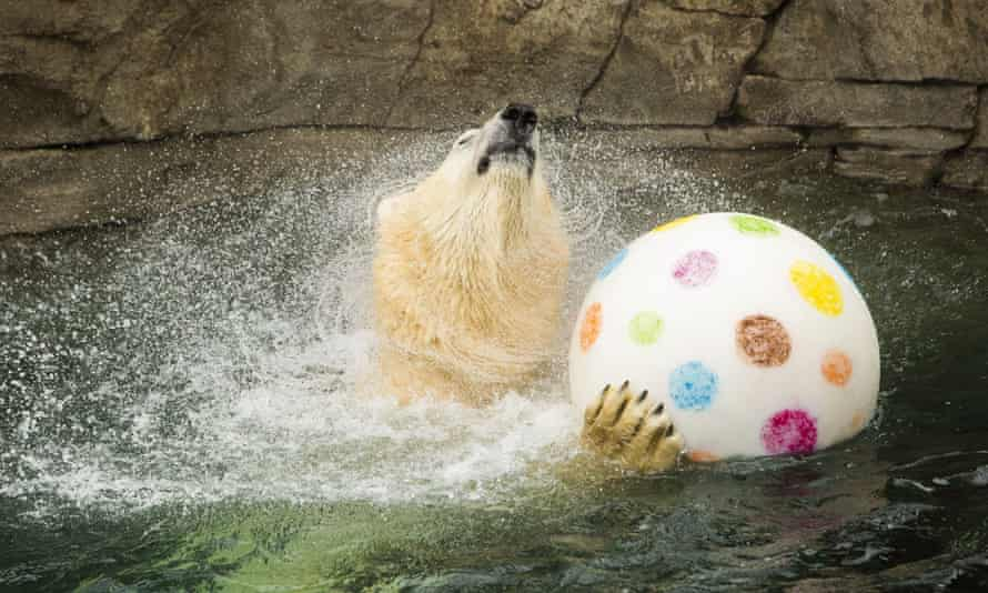 A polar bear at a zoo in Hannover, Germany.
