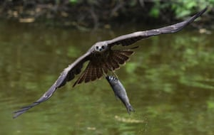 A kite catches a fish from a pond at the Zoological Park in New Delhi, India
