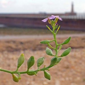 Sea rocket flowers and seed pods