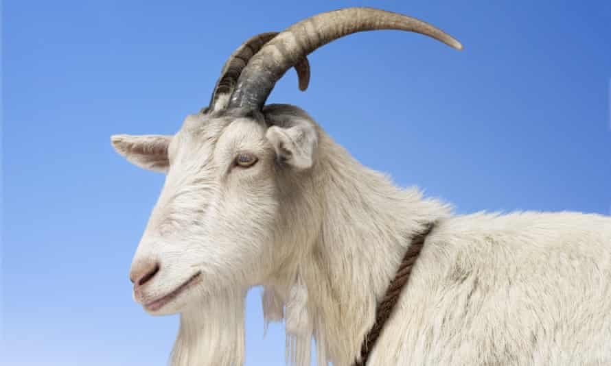How goat is becoming good to eat.