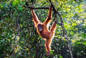 A critically endangered Sumatran orangutan named Chocolate is released back into the wild