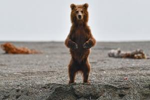 A brown bear cub by the Khailyulya River in northeast Kamchatka, Russia.