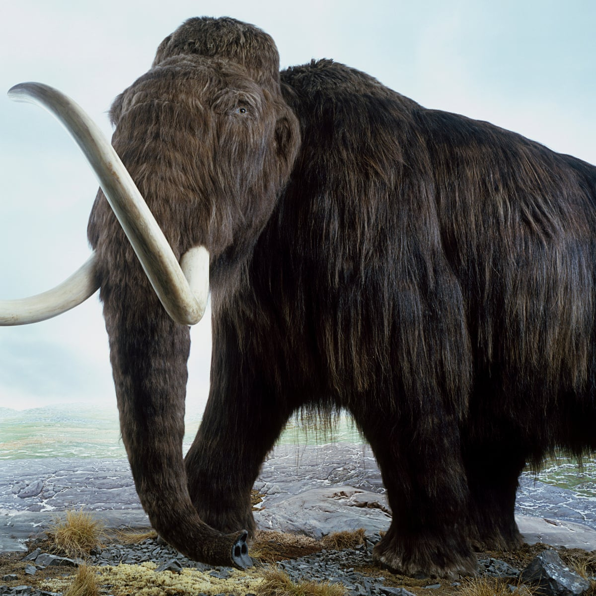 Woolly Mammoth On Verge Of Resurrection Scientists Reveal Science The Guardian