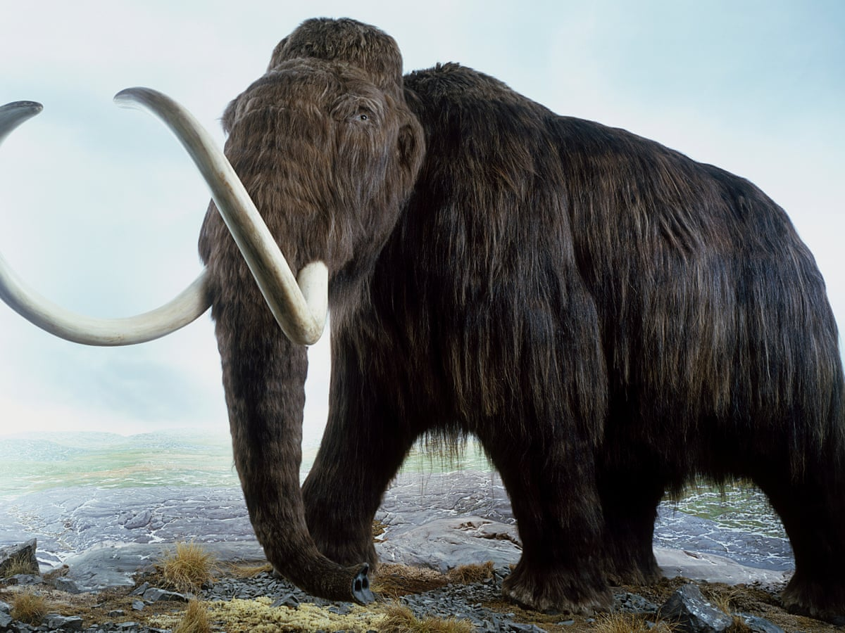 Found woolly alive mammoth A Mammoth