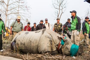 Once sedated, the rhino is fitted with a satellite collar to track movements of the animal in its new habitat in Bardia.