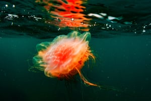 A giant jellyfish in Peter the Great Gulf in the Sea of Japan