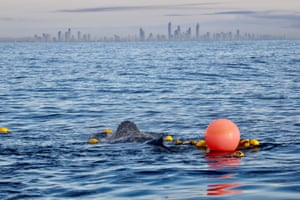 Baby humpback whale entangled in shark nets around the Gold Coast in Queensland