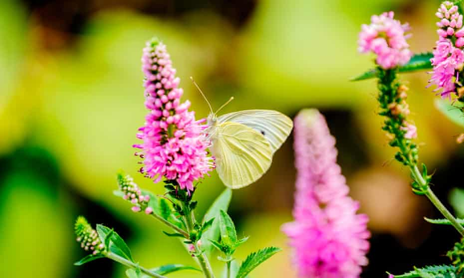 Flavour to savour: hyssop in flower, attended by a cabbage white butterfly.
