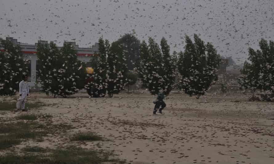 Pakistani children in the midst of a locust swarm in Rahim Yar Khan, Pakistan, on 13 November 2019.