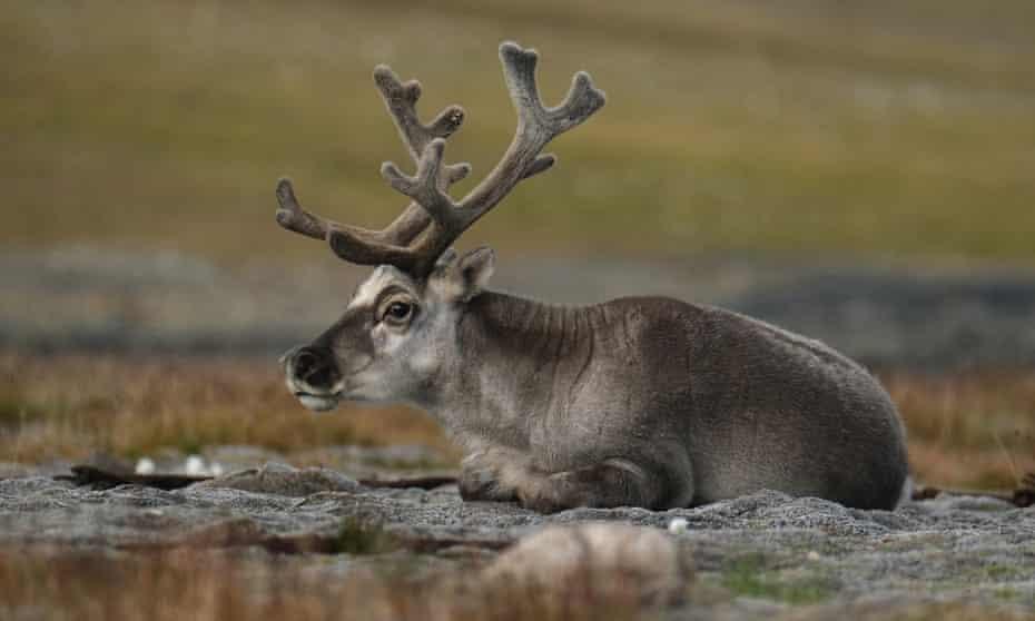 Reindeer herding in the northern Norwegian summer.