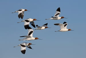 Red-necked avocets in flight showing their unusual curved beaks in Lake Cowal, New South Wales, Australia