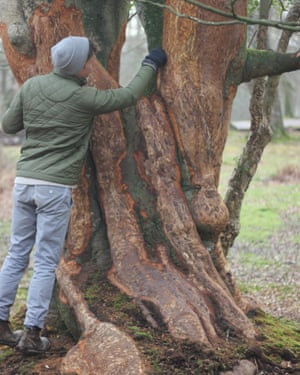 Bark damage from overgrazing in the New Forest