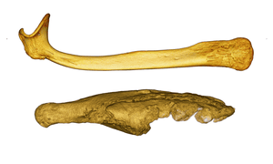 The penis bones, or bacula, from a honey badger (above) and meerkat (below), from CT scans.