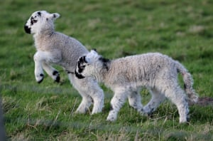 Spring is in the air These new lambs are having fun together in Waxham, Norfolk in late March. They belong to a local farmerPhotograph: Anne Marks/GuardianWitness
