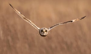 A wild short-eared owl (Asio flammeus) flies straight towards the camera in Gloucestershire