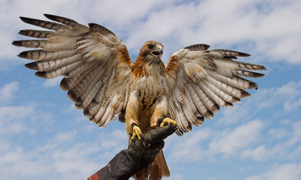 I'm a falconer - and there's nothing like watching a bird