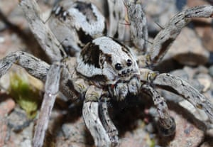 A great fox-spider