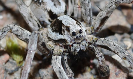 A male great fox-spider, which has only been recorded in three areas in Britain.