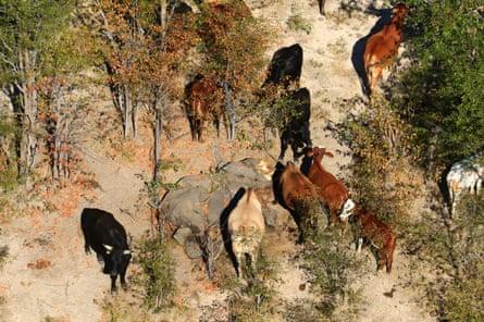 Cows graze near a dead elephant