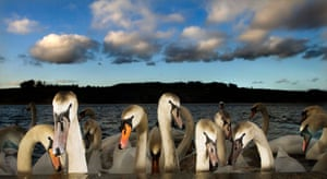 Swans at dusk at Linlithgow, Scotland