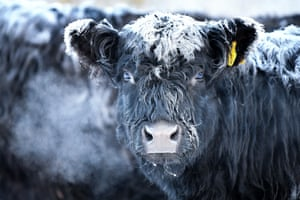 Frost forms on the back of Galloway cows in Crianlarich, Scotland