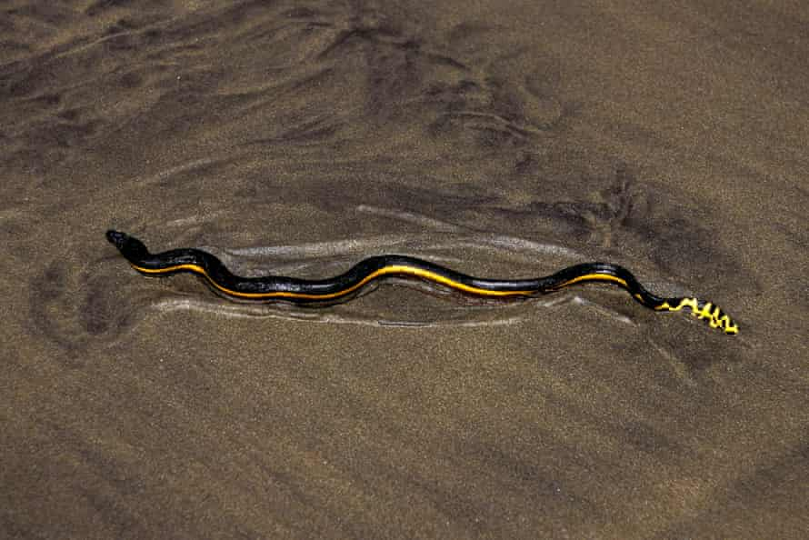 Yellow-bellied sea snake, Pelamis platurus, is found in the Pacific ocean.