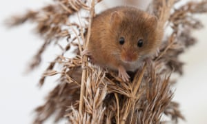 A harvest mouse, Micromys minutus.