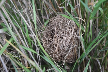 Harvest mouse nest in grass