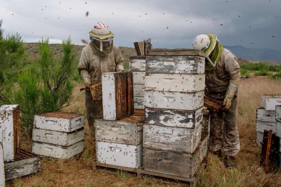 Beekeeper Dennis Arp and his son Adam work their hives outside Rye, Arizona on May 8, 2019.