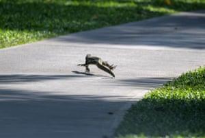 A monitor lizard crosses a walkway