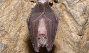 It's resting: a greater horseshoe bat (Rhinolophus ferrumequinum) in a cave.